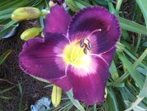"""Daylily, """"African Grape"""" in Perry, Georgia"""
